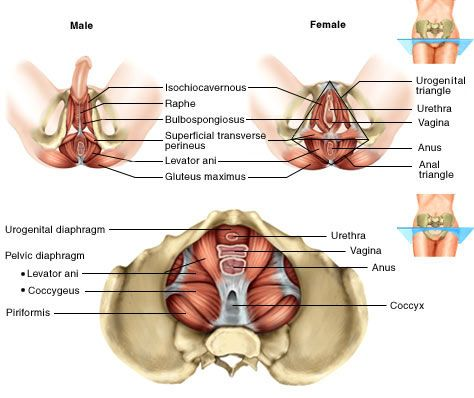 male and female diagram of the pelvic floor