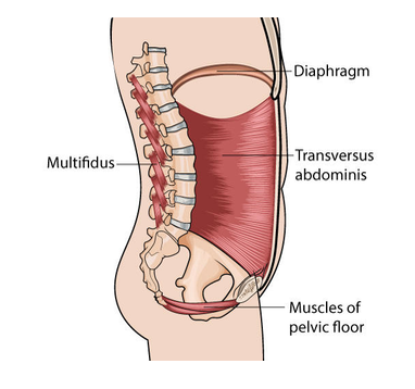 digram of core muscles connected to the pelvic floor